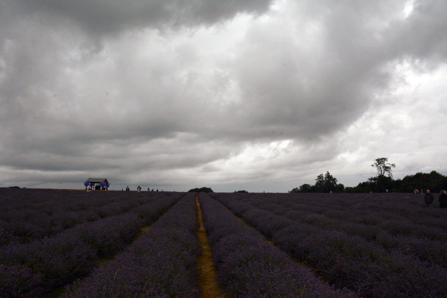 Grey skies over the lavender field